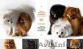 продам щенков шпица померанского миниатюрного