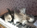 Персидские котята ищут добрых хозяев!
