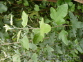 Предлагаю широкий ассортимент хвойных и лиственных пород, а также кустарников