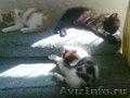Подарю 3 пушистых котят