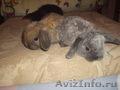 Вислоухие кролики породы