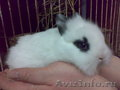Карликовые декоративные крольчата-малыши