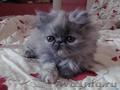 Персидский котик,  очень ласковый