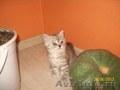 Продаются котятки шотландской породы