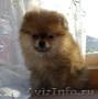 щенок карликовый шпиц
