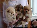 Померанские шпицы,  миниатюрные щенки. - Изображение #2, Объявление #1529338