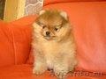 Померанские шпицы,  миниатюрные щенки. - Изображение #3, Объявление #1529338